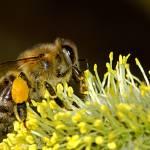 Bulles Zen Petillantes Abeille Pollen